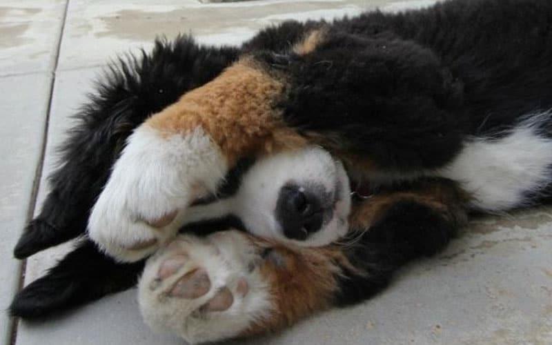 Scared golden mountain dog