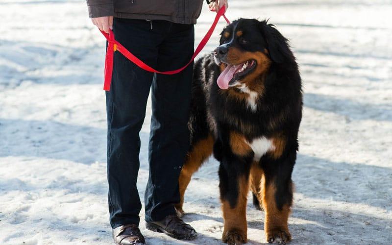 Trekking with golden mountain dog