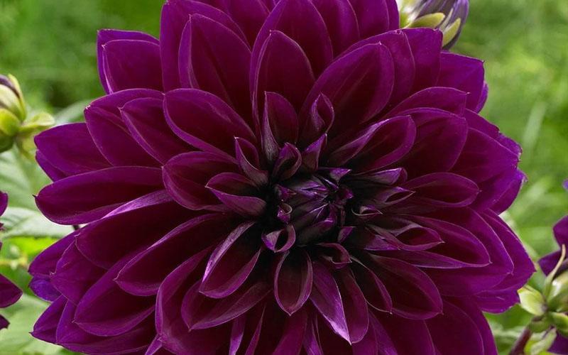 Dahlia purple black