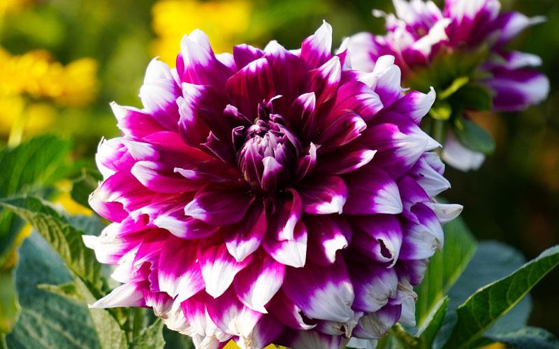 Dahlia purple white