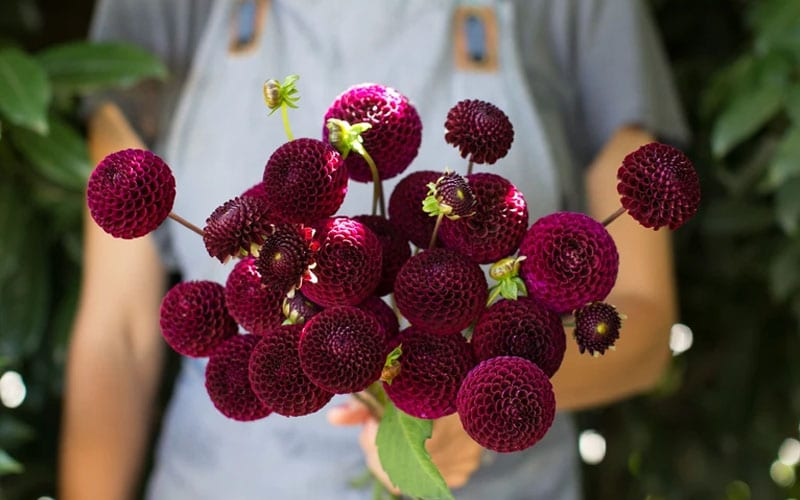 Grow Black Dahlia Flower in Home