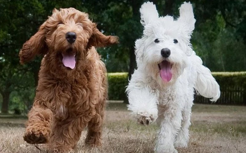 It is the only designer breed of dog that changes so many behaviors from childhood to adulthood