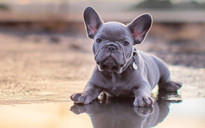 blue frenchdog