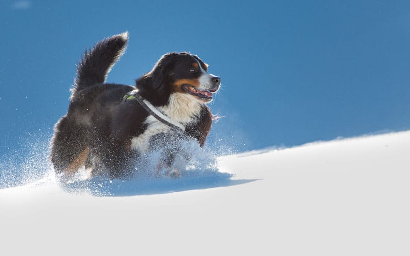 cold breeze and snowfall mountain dog