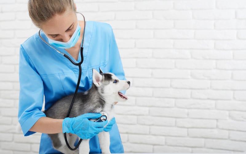pomsky with vet