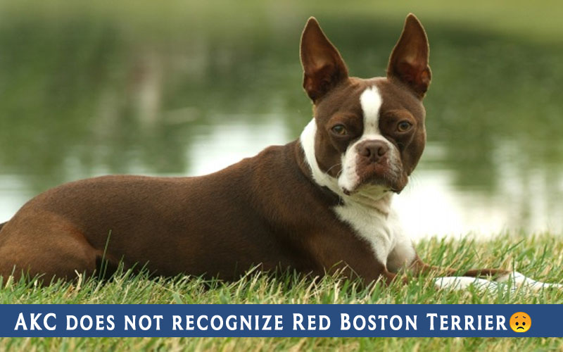 AKC does not recognize Red Boston Terrier
