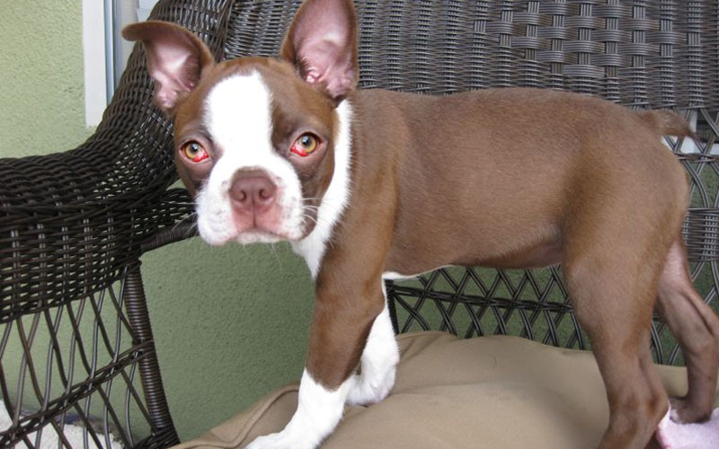 Boston Terrier Red Eyes