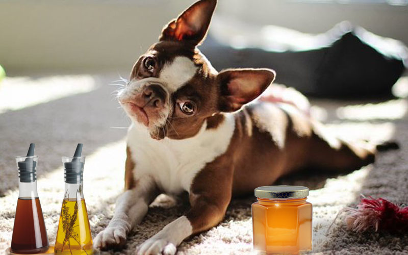 Red Boston Terrier Health Problems Taking Care with Home Remedies