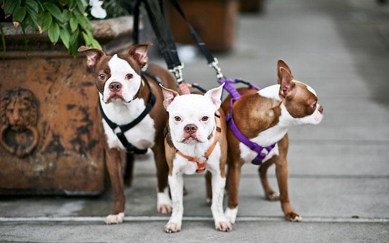 Red Boston Terrier Puppies Look Like