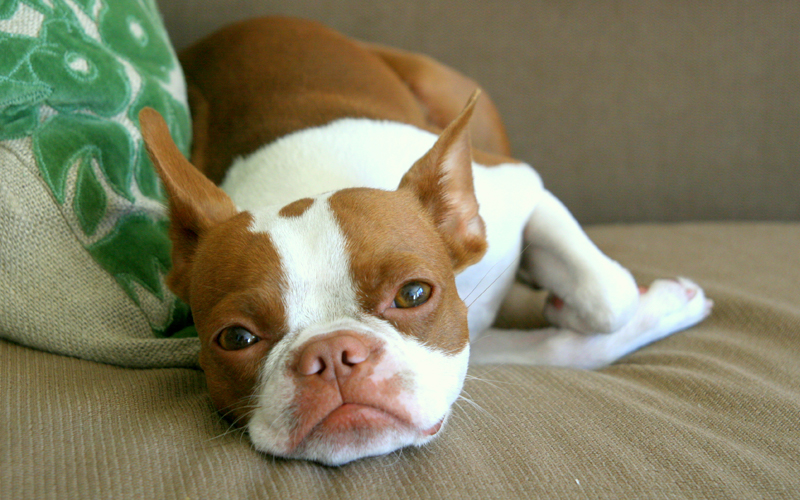 Red Boston terrier Digestive Issues