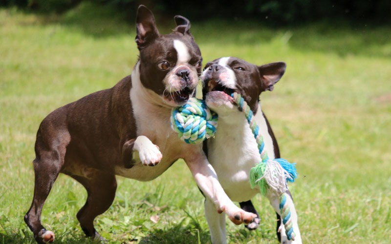 The temperament of the Red Boston Pup