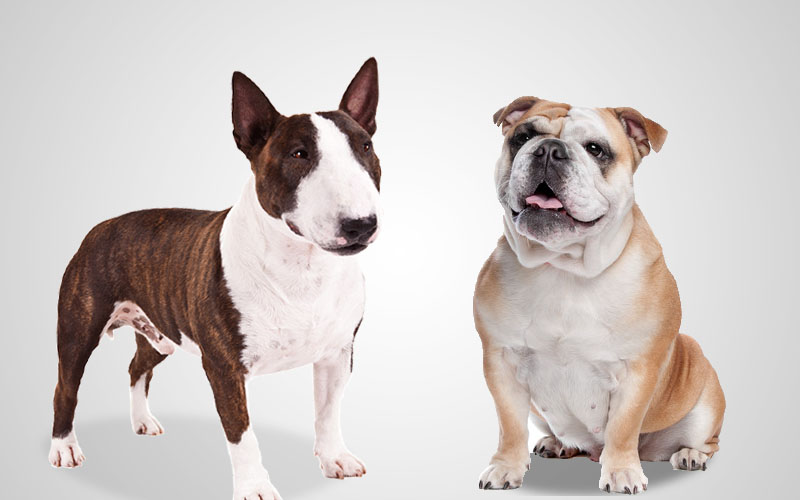 They Share Ancestorship with Bulldog and English Terrier