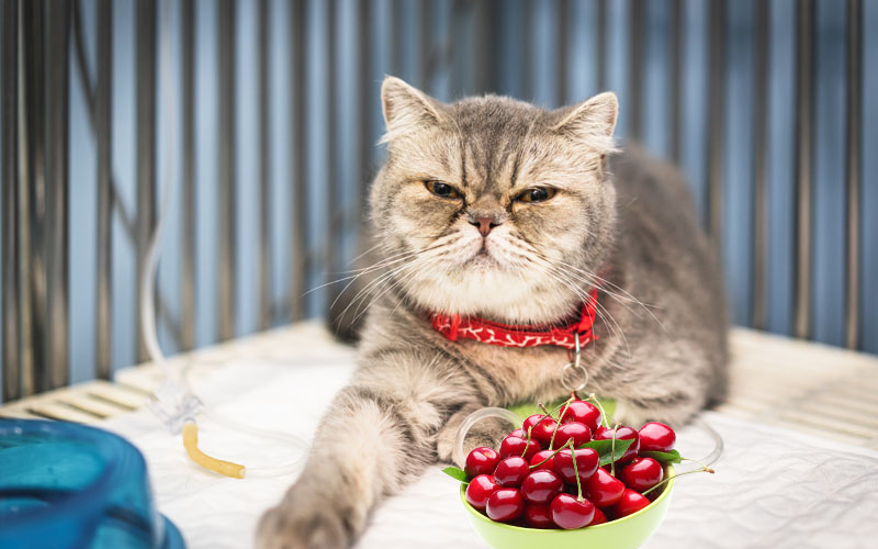 Why is Cherry Toxic to Cats