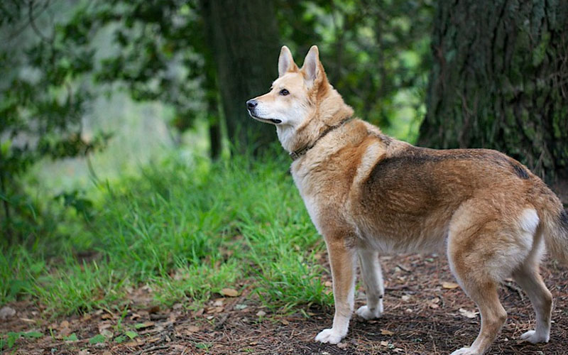 Interesting Facts About Coydogs