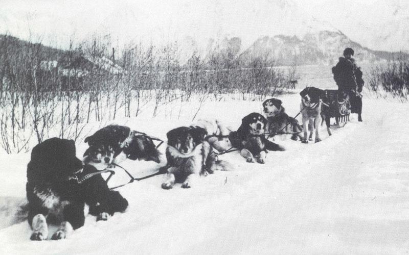 Sakhalin husky Dog sledding in snow