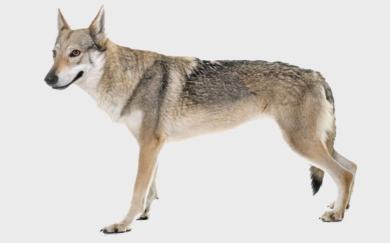 appearance of Coydog