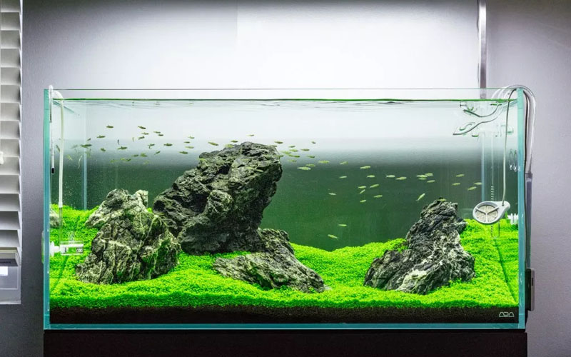 An immense Beauty to Your Aquarium