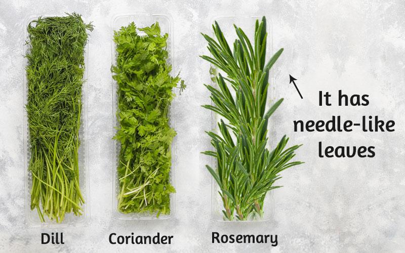 How to identify Rosemary