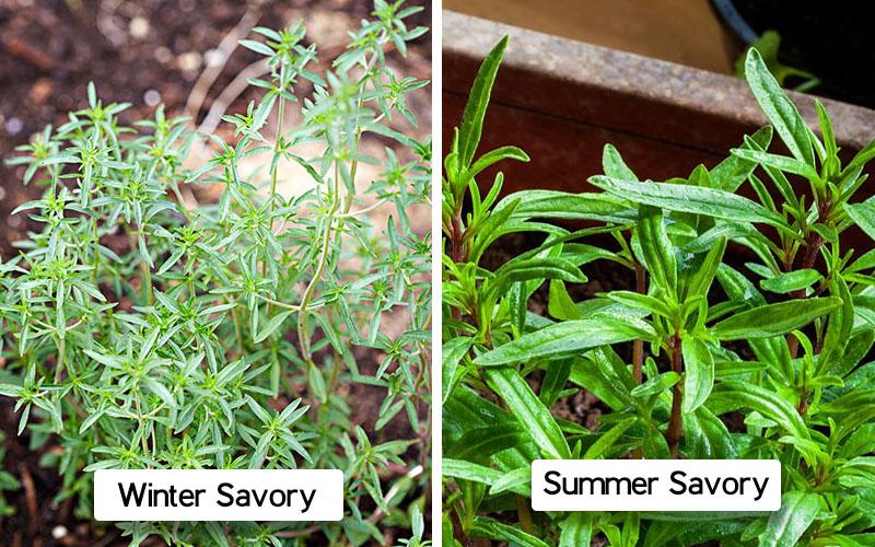 Summer-winter savory