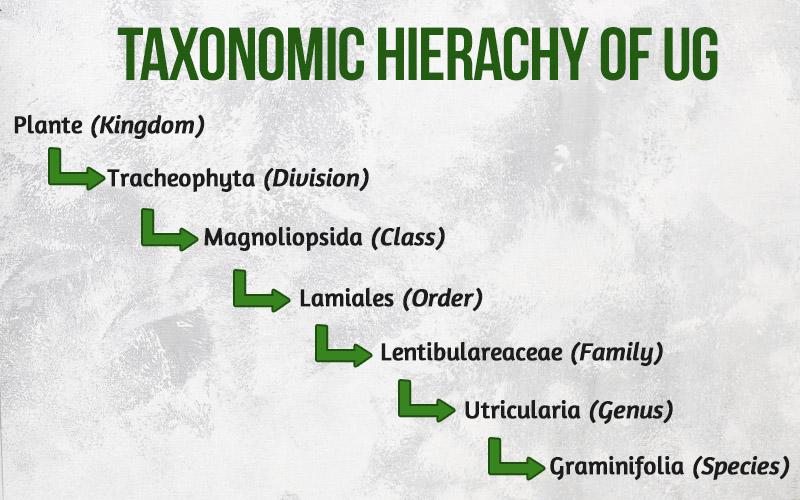 Taxonomic Hierarchy of UG