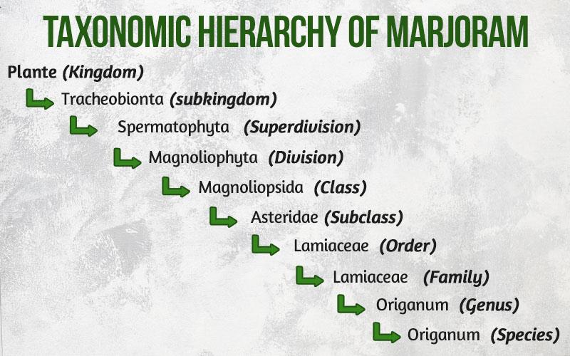 Taxonomic Hierarchy of Marjoram