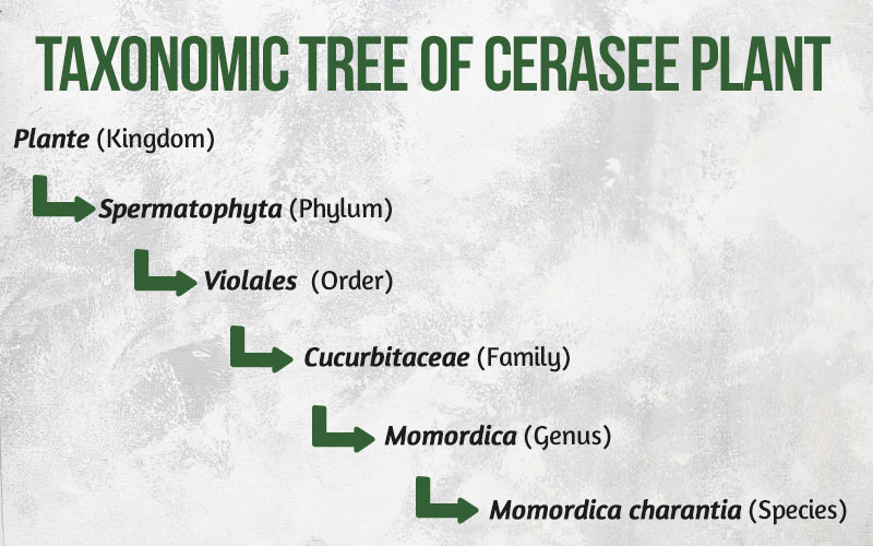 Taxonomic Tree of Cerasee Plant