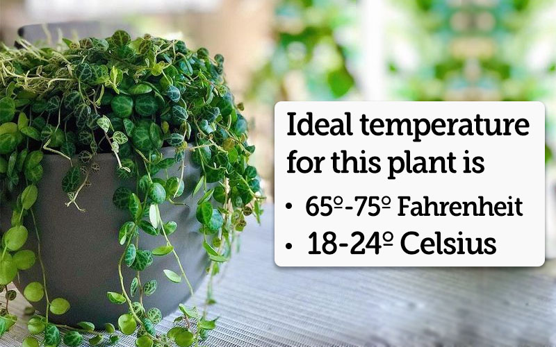 The Temperature Requirements for Peperomia