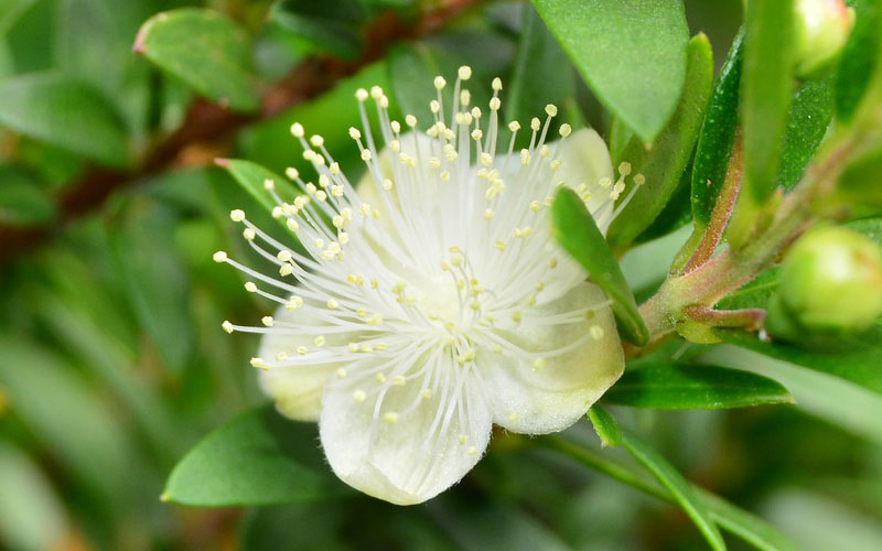 What Is Myrtle Flower or Common Myrtle