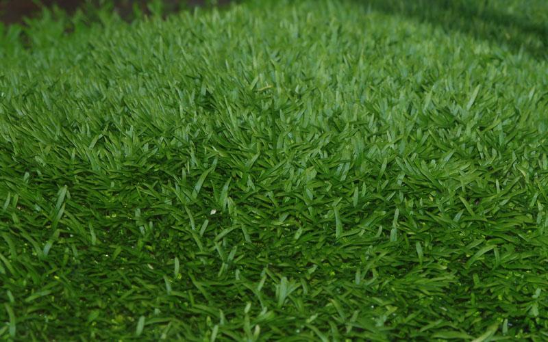 What Is Utricularia graminifolia