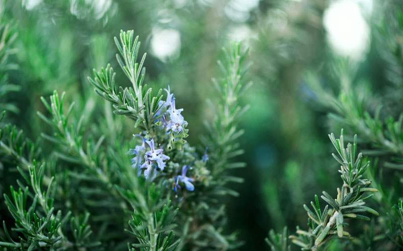 What is Rosemary