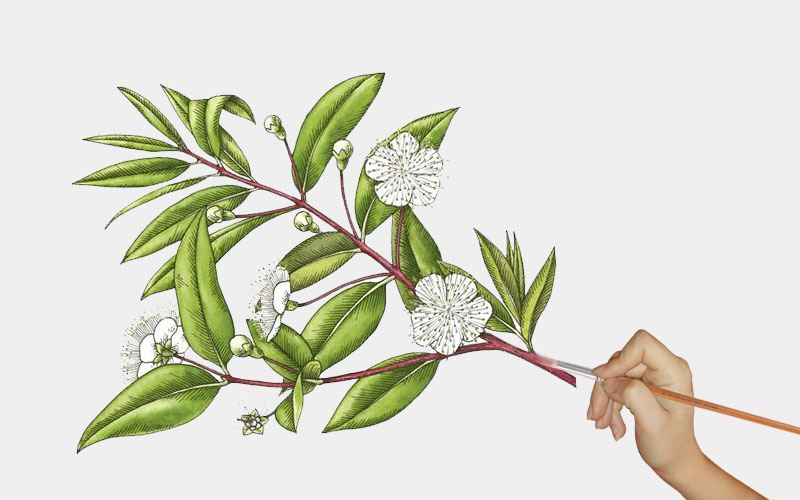 hand drawing of common myrtle flower