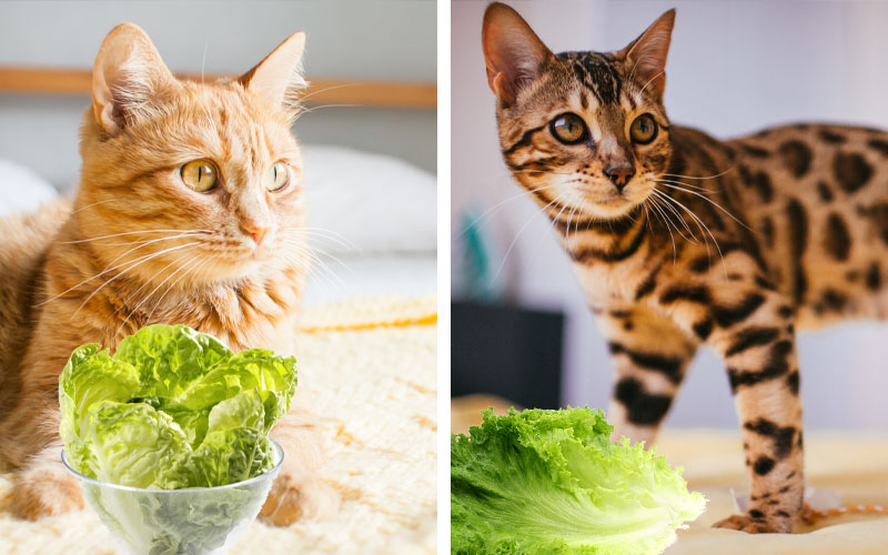 Best for Cats Having Chances of Becoming Over-weight