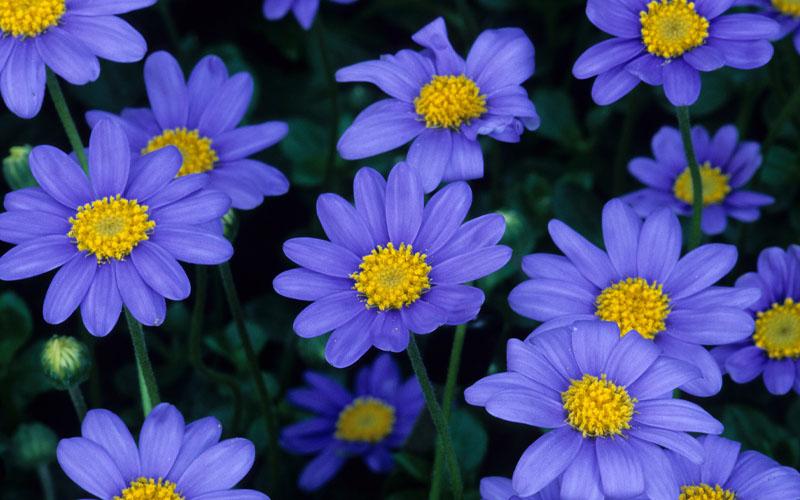 Blue Daisy (Felicia amelloides)