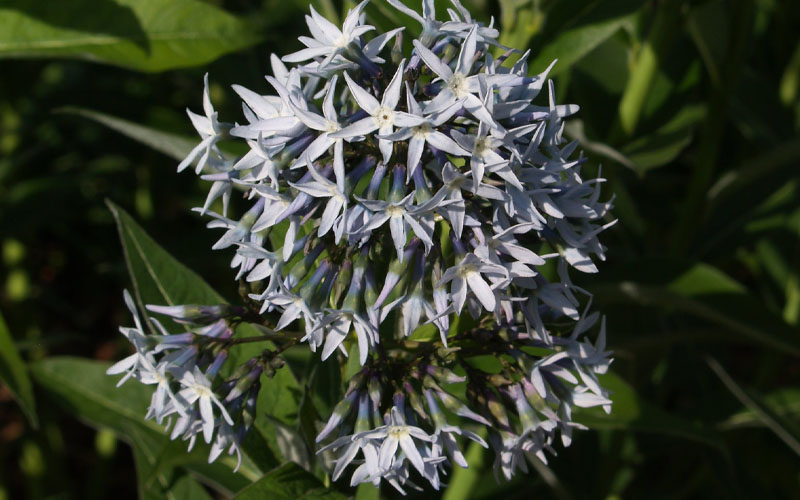 Blue Star (Amsonia)