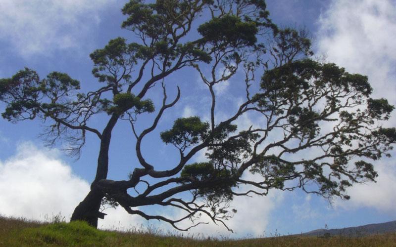 Hawaiian Koa tree