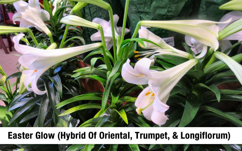 Interdivisional Hybrids