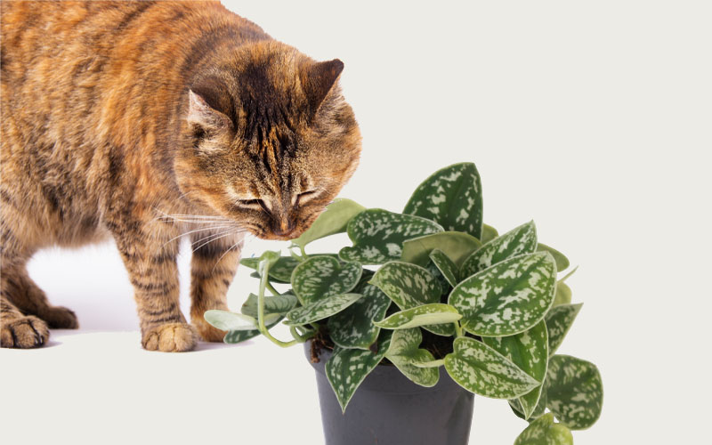 Is Scindapsus pictus toxic to cats and dogs