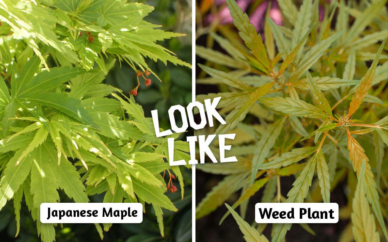 Japanese maple VS WEED