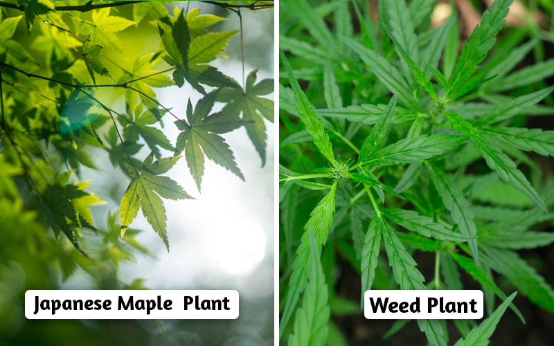 Japanese maple  VS WEED