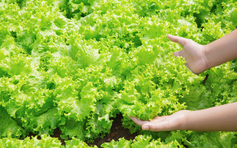 Nutritional Benefits of Lettuce