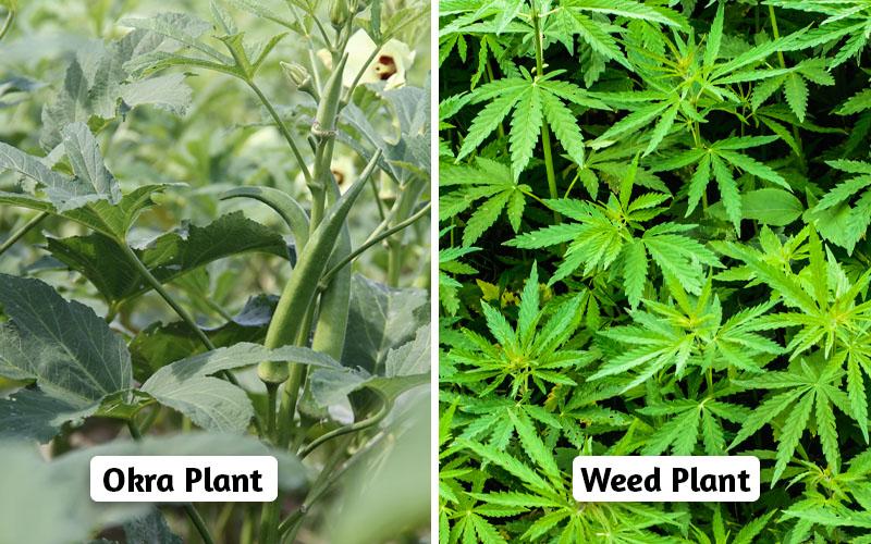 Okra vs weed