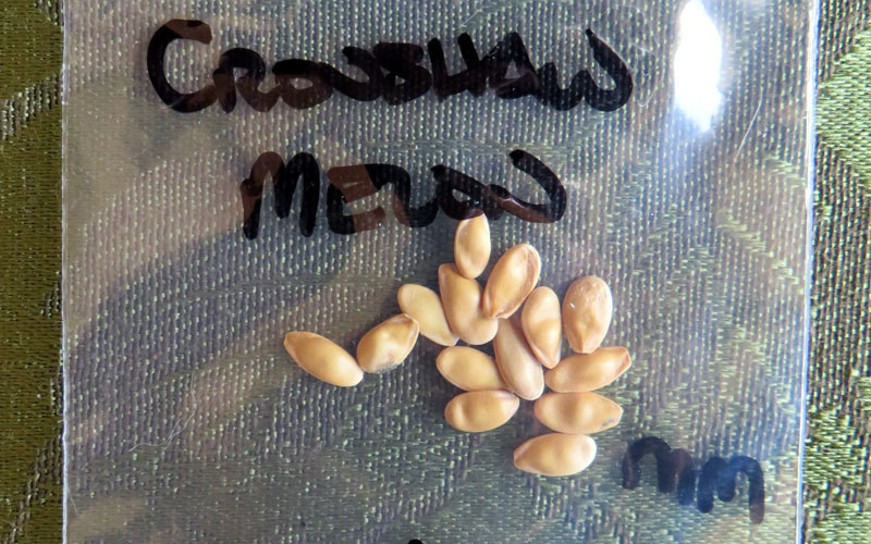 Saving Crenshaw Melon Seeds