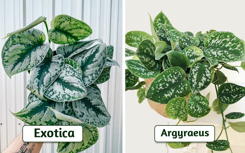 Scindapsus Pictus Exotica vs. Scindapsus Pictus Argyraeus