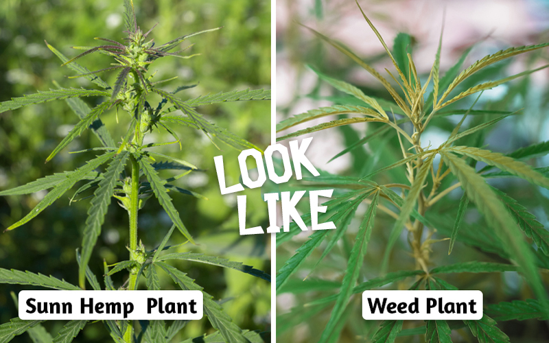Sunn hemp VS WEED
