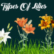 Types of Lilies