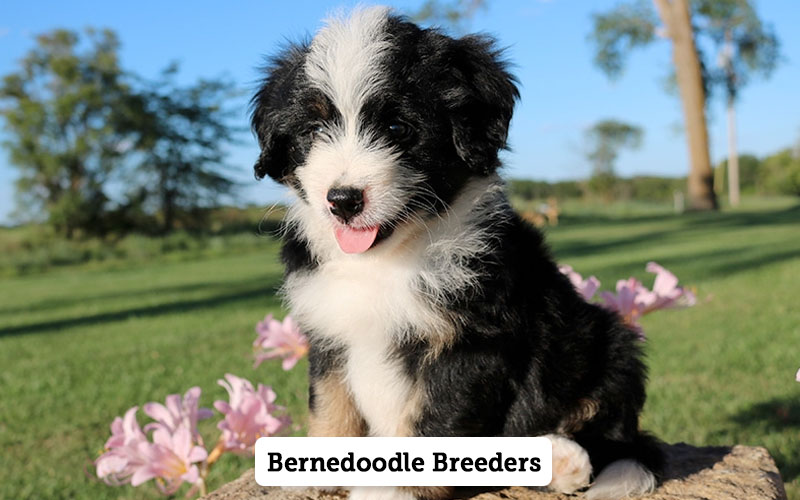 Bernedoodle Breeders