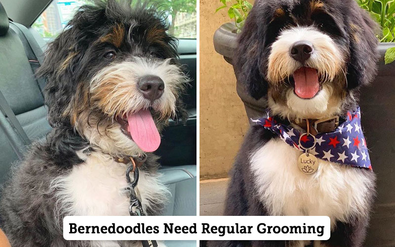 Bernedoodle Health and grooming