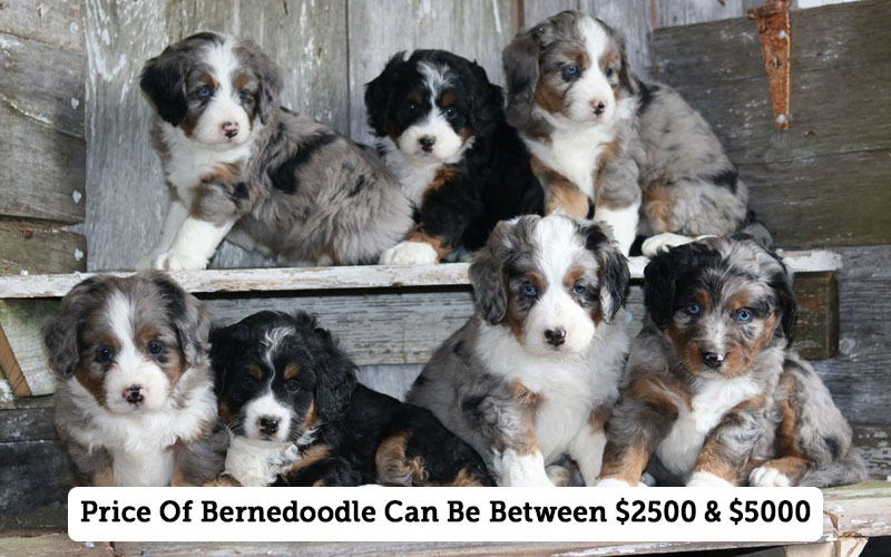 Check Bernedoodle Price