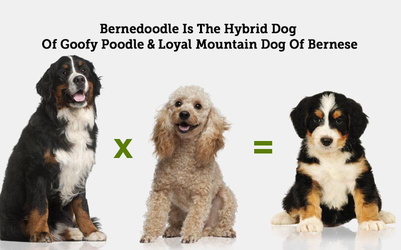 Bernese Mountain Dog Poodle Mix