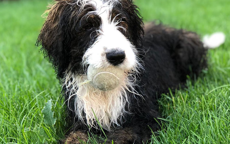 Brindle healthy Bernedoodle pictures